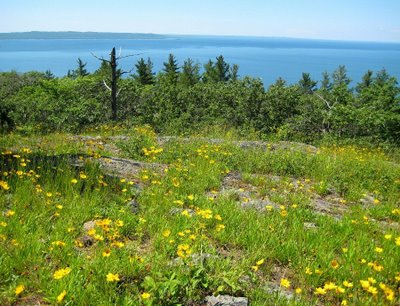 Gros Cap is a large ridge of Algoma granite overlooking Whitefish Bay and Lake Superior. Despite thin or no soil, the hardy plants find places to grow. The cheery yellow coryopsis was in full bloom for us.